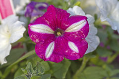 Wet, Pink Petunia Stock Photography