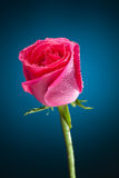 Wet pink rose on blue Stock Image