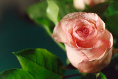 Wet pink rose bud with drops of water flowing down Royalty Free Stock Images