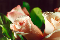 Wet pink rose bud with drops of water flowing down Royalty Free Stock Image
