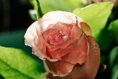 Wet pink rose bud with drops of water flowing down Stock Photos