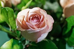 Wet pink rose bud with drops of water flowing down Stock Photo