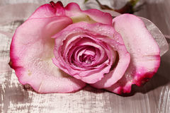 A wet pink Rose. A close up of a wet pink Rose  on a wooden background Royalty Free Stock Images