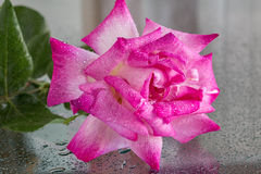 Wet pink rose Stock Photo