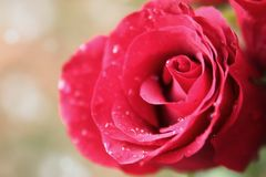 Wet pink rose Stock Photography