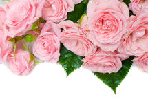 Wet pink roses on a white background Stock Image