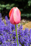 Wet Pink Tulip and Ajuga Flowers Stock Image
