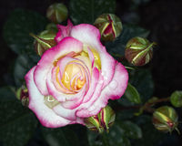 Wet pink and white rose  closeup Stock Image