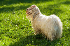 Wet playful Havanese dog is waiting for a water beam Stock Photography
