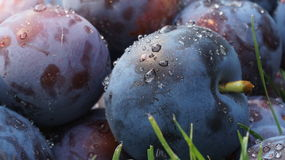 Wet plums Stock Images