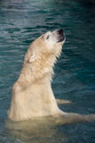 Wet polar bear. Polar bear enjoying the water on a sunny day Royalty Free Stock Images