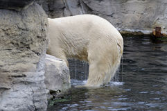 Wet polar bear Royalty Free Stock Photography