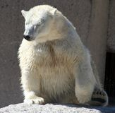 Wet Polar Bear Royalty Free Stock Images
