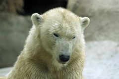 Wet polar bear. A wet polar bear's face Royalty Free Stock Photography