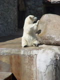 Wet polar bear-cub Royalty Free Stock Photo