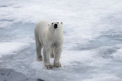 Wet polar bear going on pack ice in Arctic sea. Polar bear Ursus maritimus on the pack ice north of Spitsbergen Island, Svalbard, Norway, Scandinavia, Europe royalty free stock image