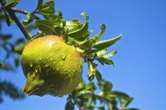 Wet pomegranate on tree Stock Photos