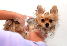 Wet Pomeranian spitz dog on a Woman hands Stock Image