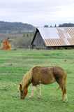Wet Pony Eating Grass In Front Of Barn Royalty Free Stock Images