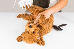 Wet poodle dog fur being blown dry and groom after shower at salon Stock Photos