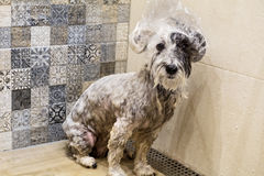 Wet poodle dog with hat bath Stock Photography