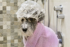 Wet poodle dog with hat bath and towel Royalty Free Stock Photography