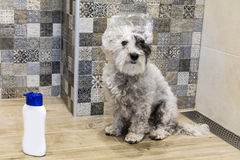 Wet poodle dog taking a bath Royalty Free Stock Images