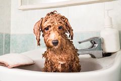 Wet poodle puppy taking bath in basin Stock Image