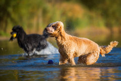 Wet poodle shaking the fur. Wet royal poodle shaking the fur after running in a lake Royalty Free Stock Photography