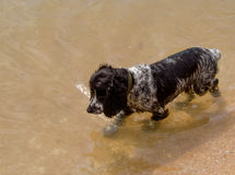 Wet poodle walking in the sea water, a lot of copyspace Royalty Free Stock Photos