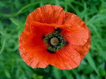 Wet poppy. Just a wet poppy against a green natural blur background Royalty Free Stock Images
