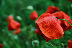 Wet poppy Stock Images