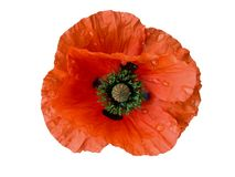 Wet Poppy-design element Stock Image