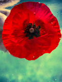 Wet poppy in the water. Royalty Free Stock Images