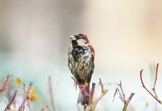 Wet portrait of a funny little bird sitting on a thorny Bush and. Dry the feathers in a Sunny spring day Stock Photo
