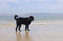 Wet Portuguese Water Dog Royalty Free Stock Photo