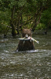 Wet prize. An old grizzly bear faces the camera as he sits in the river with his freshly caught chum dog salmon, during the annual salmon run in the Tongass Royalty Free Stock Photos