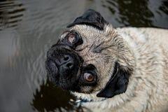 Wet Pug Royalty Free Stock Image