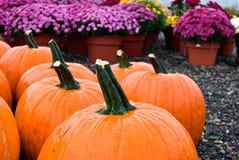 wet pumpkins and mums Stock Image