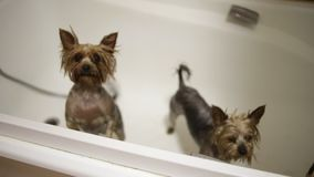 Wet puppies in bathroom stock video