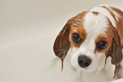 Wet Puppy Dog. Cavalier King Charles Spaniel Puppy Dog Looking up in a kind way as to express contentment and peace. She is soaking wet right after her bath royalty free stock images
