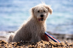 Wet puppy dog on the beach Stock Image