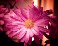 Wet purple flower Stock Image