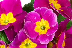 Wet purple primrose , close up Stock Photo