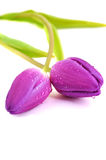 Wet Purple Tulips Stock Images