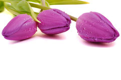 Wet Purple Tulips Royalty Free Stock Photography