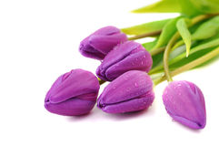 Wet Purple Tulips Stock Photo