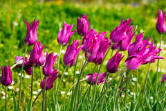 Wet purple tulips Royalty Free Stock Images