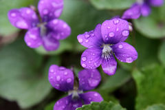 Wet Purple Violets Royalty Free Stock Photo