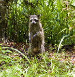 A wet raccoon Royalty Free Stock Photo